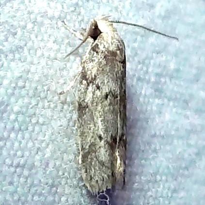Dotted Anteotricha Moth - Hodges#1019 (Antaeotricha humilis) - Antaeotricha humilis