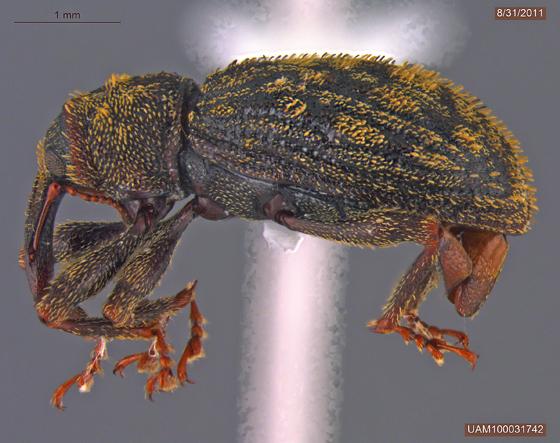 Sthereus ptinoides