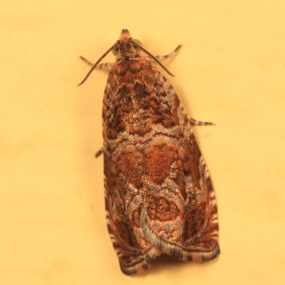 2810 – Olethreutes sericoranum? - Olethreutes sericoranum