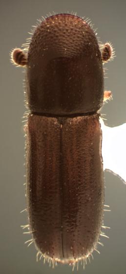 Gnathotrichus sulcatus - male
