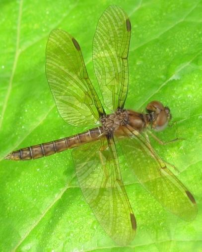 Dragonfly - Perithemis tenera