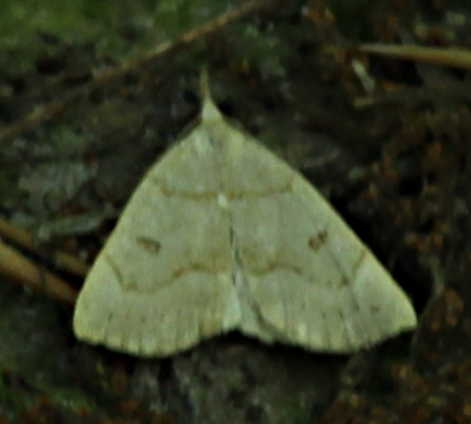 Unknown Moth - Chytolita morbidalis