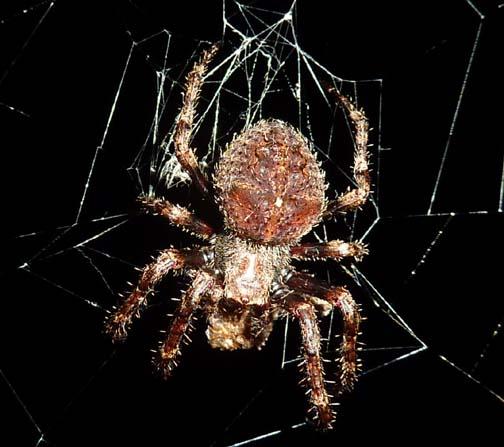 vertical orb web - Araneus andrewsi