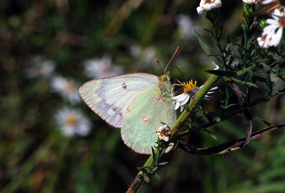 Orange Sulphur, White Form - Oklahoma - Colias eurytheme - female