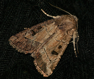 Owlet Moth - Anhimella pacifica