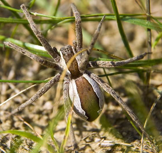 Large Pisaurina mira? - Pisaurina mira - female