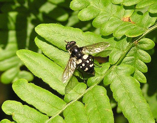 Fly - Sericomyia lata