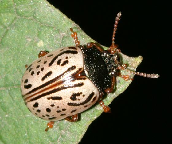 leaf beetle - Calligrapha philadelphica