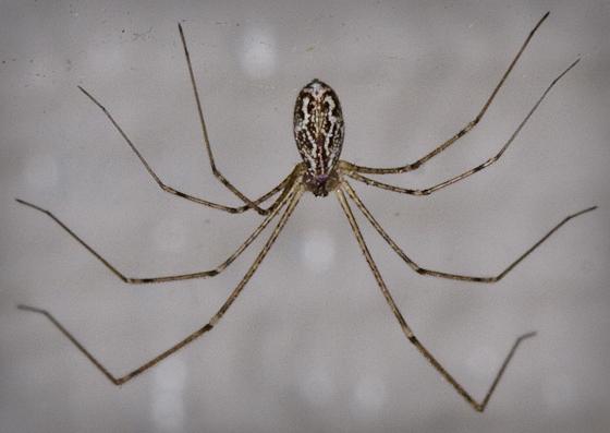 Pholcidae? - Holocnemus pluchei