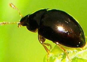 Phalacridae - Shining Flower Beetles Genus Olibrus - Olibrus