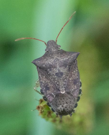 Soldier or Stink bug sp.? - Euschistus