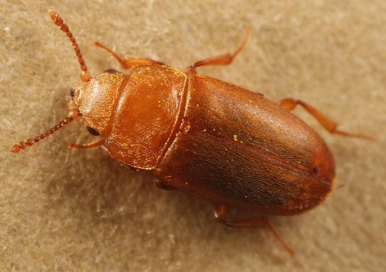 silken fungus beetle - Antherophagus ochraceus