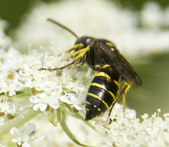 small smooth and shiny wasp - Ancistrocerus? - Aphilanthops frigidus
