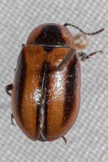 Leaf Beetle - Entomoscelis americana