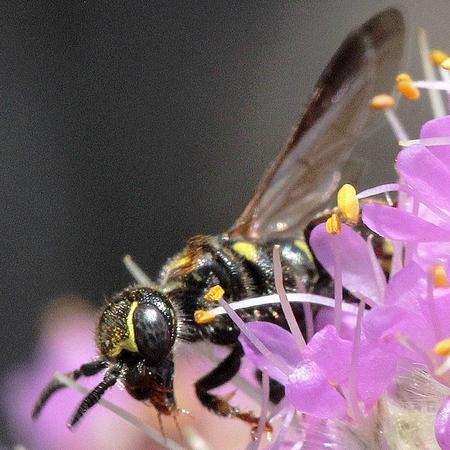 MN Aug - Myzinum maculatum - female