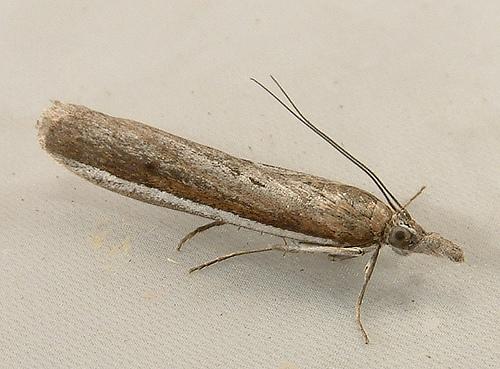 1479 Pima fosterella -  White-edged Pima Moth 5748 - Pima fosterella