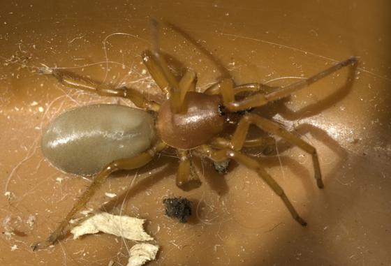 Spider--Dysdera or Trachelas? - Dysdera crocata - female
