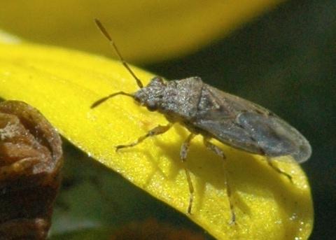 Buncha Bugs of December #4 - Xyonysius californicus