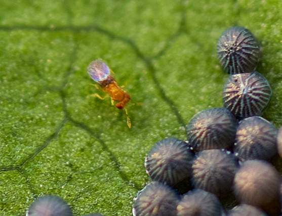 Ant or wasp and eggs