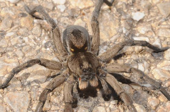 Carolina wolf spider - Hogna carolinensis