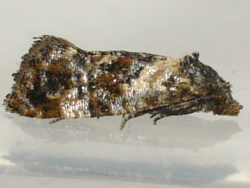 moth - Cochylichroa hoffmanana