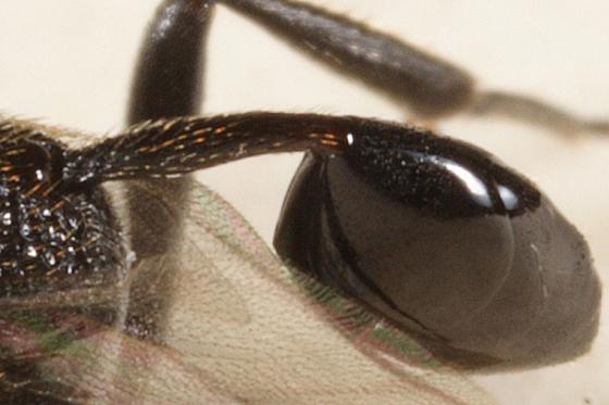 Ensign Wasp - Hyptia