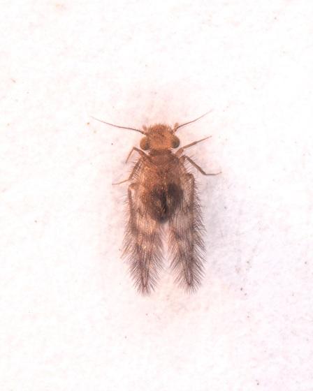 Thylacella cubana - female