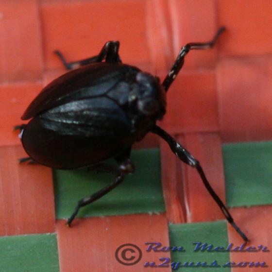 Unknown 05 - Phylloscelis atra