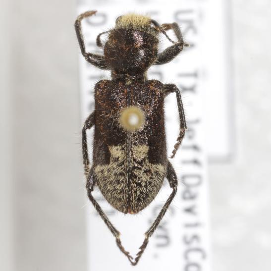 Enoclerus moestus (Klug) - Enoclerus moestus