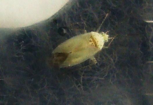 green speckled cotton fleahopper? - Pseudatomoscelis seriatus