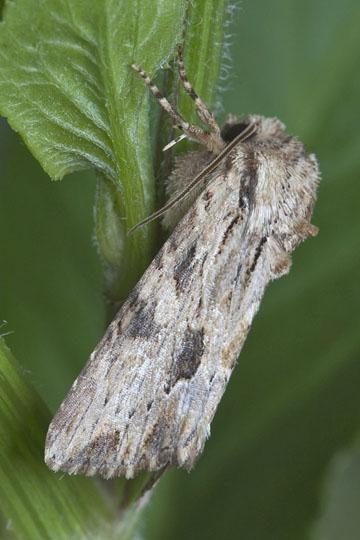 Moth - Morrisonia mucens - male