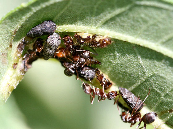 Adult and nymph treehoppers with ant attendants - Publilia