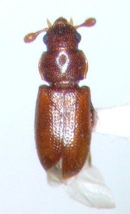 Beetle - Tyrtaeus dobsoni