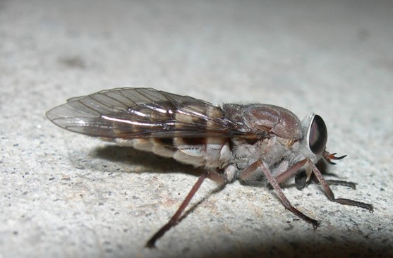 Hamatabanus exilipalpis? - Hamatabanus carolinensis