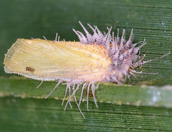 Palm Flatid Planthopper - Ormenaria rufifascia