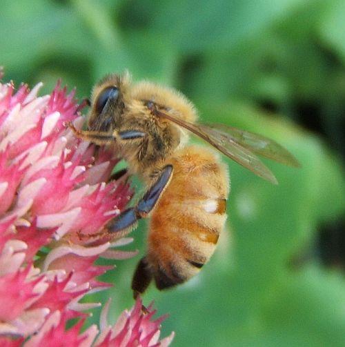 Lovely golden bee - Apis mellifera