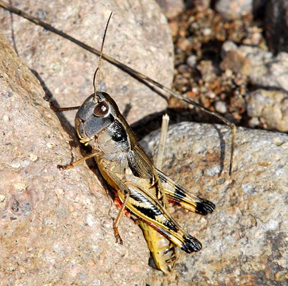 Acrididae: - Boopedon flaviventris - female