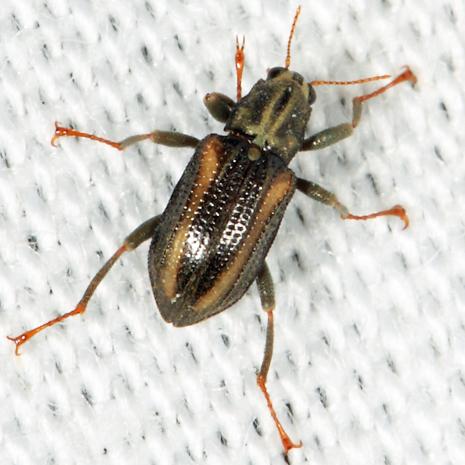 Riffle Beetle - Stenelmis crenata