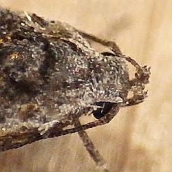 Gelechiidae: Xenolechia - Xenolechia