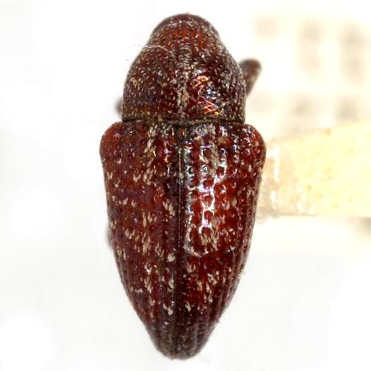 Chalcodermus serripes Fahraeus - Chalcodermus serripes
