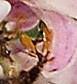 close-up of honeybee tarsus with milkweed pollinium - Apis mellifera - female