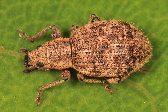 weevil - Sciaphilus asperatus