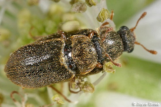 beetles - Byturus unicolor - male - female