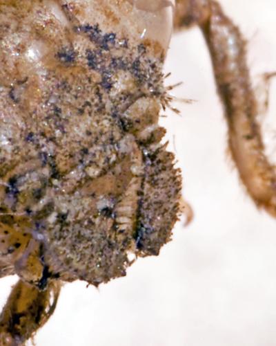 Exuvium, closeup of antennae - Ophiogomphus howei
