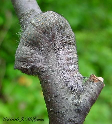 neat fuzzy caterpillar 1 - Phyllodesma americana