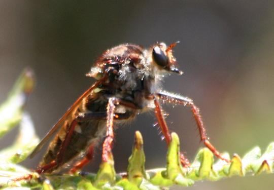 Pritchardomyia vespoides - female
