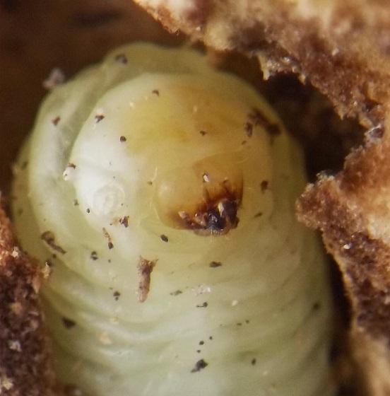 Yucca stem larva - Prodoxus