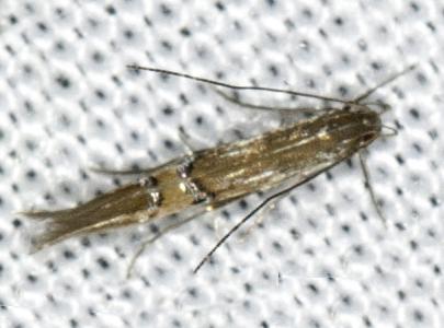 Micromoths - Cosmopterix fernaldella