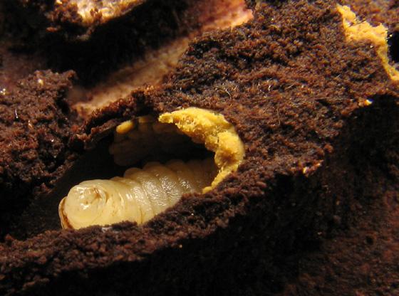 Augochlorini larvae - Augochlora pura
