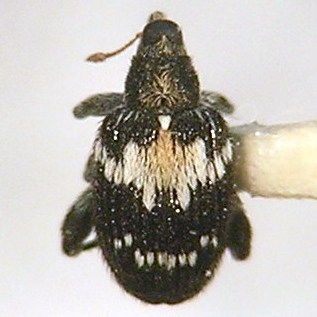 Rhynchaenus salicis - Tachyerges salicis